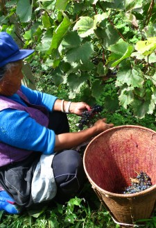 <b><p>Grape harvesting: Process of Making Red Wine.</b></p> <p>First Step</p> Winemaking begins by harvesting of the grapes, which are picked from the vines by the bundle, placed in bamboo or plastic baskets and then carried home with the basket on one's back. All five members of Wu Gongdi's family were actively involved in this stage of harvesting; even his granddaughter and grandson copied the others' actions.