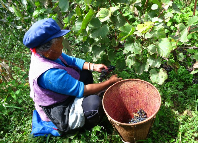 <b><p>Grape harvesting: Process of Making Red Wine.</b></p>