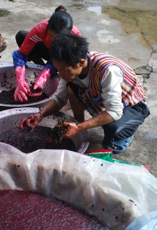 <b><p>Picking the stems from the crushed grapes.</b></p> However, In Cizhong the situation is quite different than in other parts of Deqin. While some households do indeed grow some government introduced Cabernet cultivar with the use of chemicals, other choose to grow mostly 'Rose Honey,' which can be done entirely organically. Household agriculture in Cizhong also remains quite diverse, with large quantities of rice, wheat, barley, corn, and vegetables grown alongside vineyards, making food security a non-issue compared to other villages where grapes are monocroped. Additionally, while small quantities of Cabernet grapes grown in Cizhong are sold to the Shangri-La Wine Company, the majority of households use their grapes exclusively for winemaking, with the sale of wine making a great difference in annual household income. For Wu Gongdi's family, wine, which is sold not only to tourists but also to restaurants and to large companies as annual employee gifts, is the largest source of annual income, with revenue from the sales going into his two granddaughters' primary school education and living expenses in the local county town. In addition to regular grape wine, Wu Gongdi has also been testing production of ice wine, grape liquor distilled from the leftover skin and seeds, as well as 'Rose Honey' grape jam.
