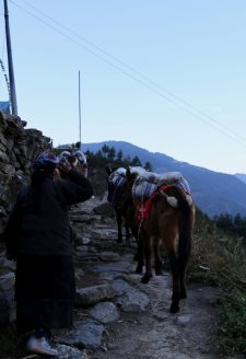 A mule caravan passing north to Langtang valley from Khanjim, Rasuwa. Langtang valley remains one of the only areas within Rasuwa district where road connectivity is absent, and the transportation of basic household provisions and consumer goods are still transported on draught animals such as mules and horses.