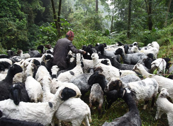 Sheep, like other livestock species, often require a salt supplement to their diet to help regulate their intake of fodder, to reduce the chance of overeating, and help keep them healthy. Aitamaan Limbu distributes salt to his herd on a weekly basis.